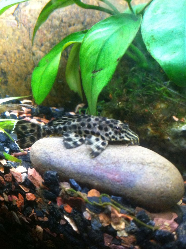 25 best images about pleco 39 s on pinterest south america for Freshwater fish facts
