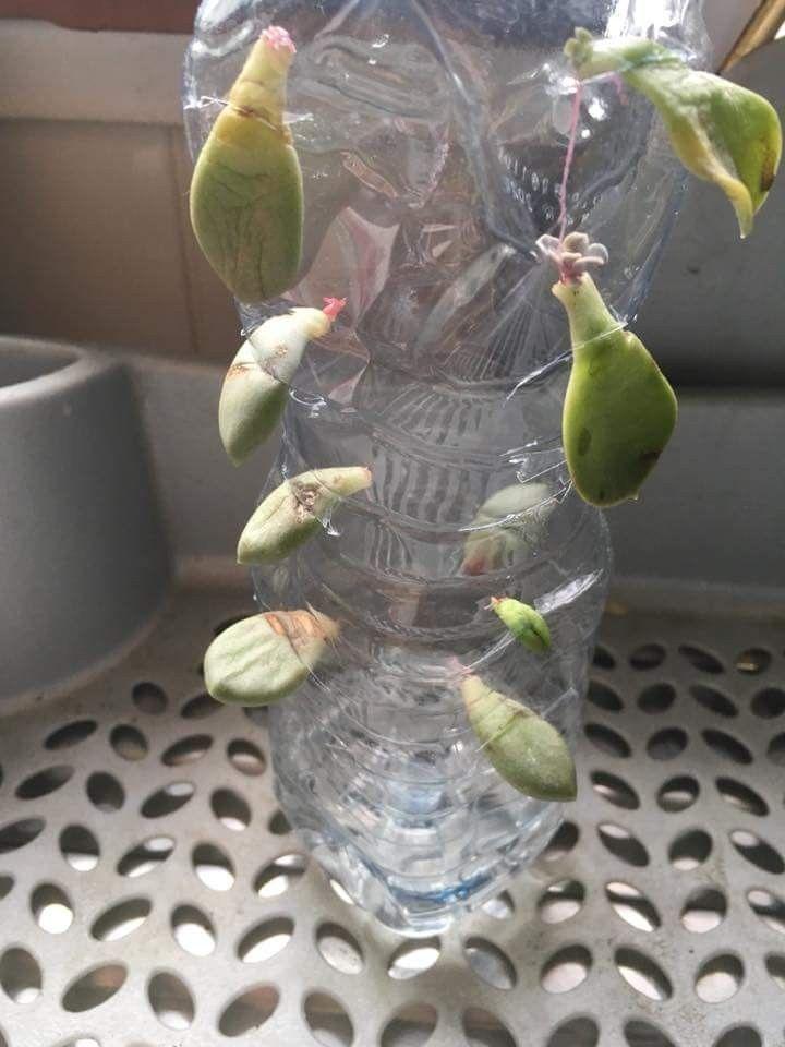 Propagating Succulents Cactusflower Mit Bildern Pflanzen