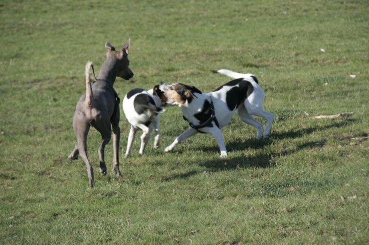 Dogs playing. Heathland - Hoorneboegse Heide, Hilversum, The Netherlands