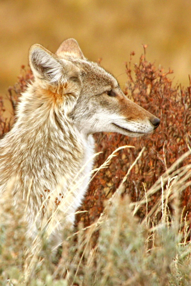 146 Best Images About Coyotes On Pinterest