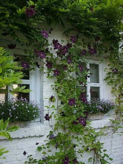 Darkly purple, a clematis vine eagerly climbs a white brick wall.