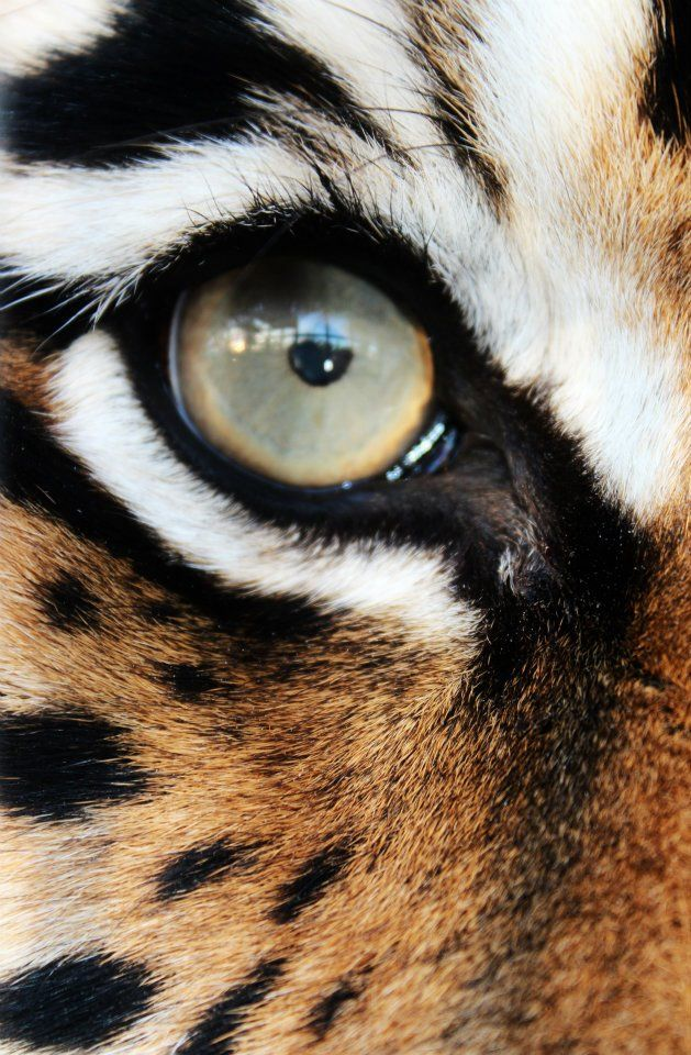 Eye of the Tiger - thought of you Shelly♥Girl when i found this!!!                                                                                                                                                      More