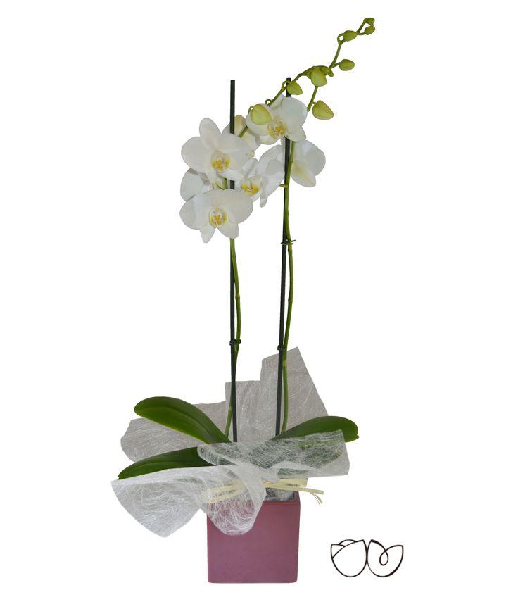 * Planta de Orquídea Blanca* La Phalaenopsis comúnmente conocida como Orquídea es una planta alargada que puede llegar a florecer más de una vezpor año. Regala una Orquídea