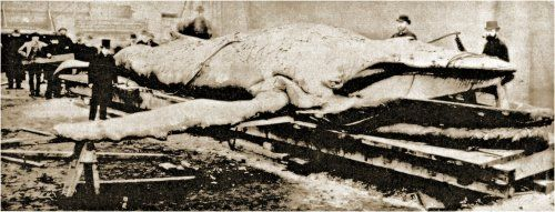 Struthers Tay Whale Dissection by George Washington Wilson - Bultrug - Wikipedia