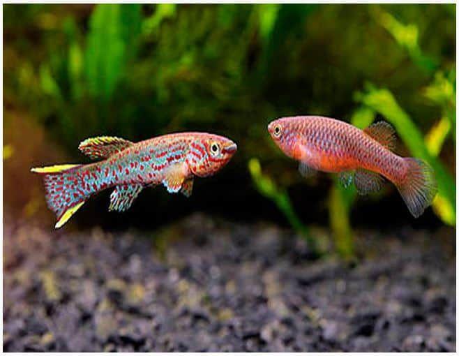 Most Popular Freshwater Fish Guppies Fish Freshwater Guppies Popular Aquariumfreshwaterfish In 2020 Guppy Fish Aquarium Fish Fish Tank