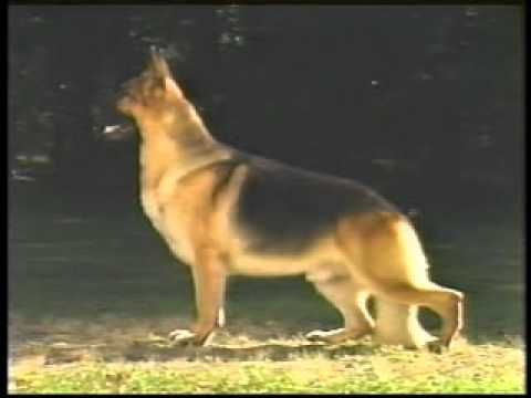 The Official AKC German Shepherd Dog Breed Standard - Part 1 of 2 - YouTube
