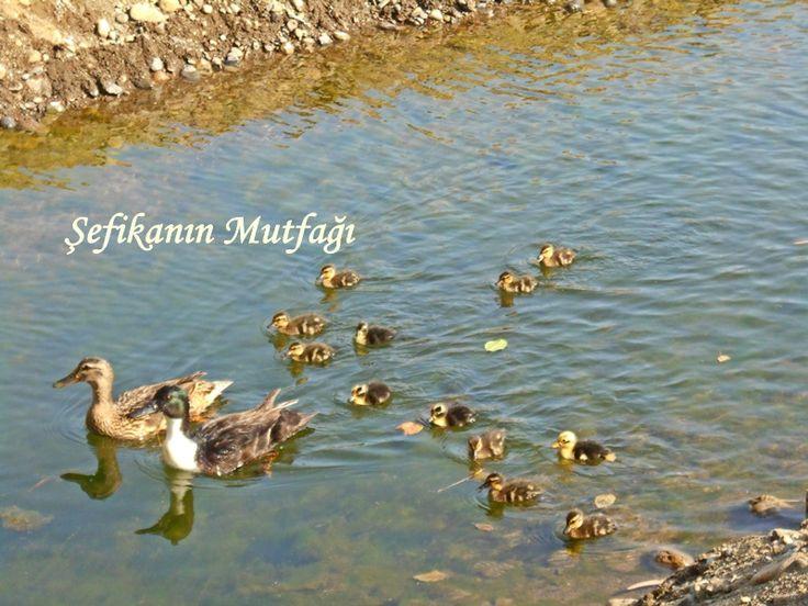 #Günlüklü Koyu #Fethiye -Türkiye Araçla giriş ücreti 15 TL.denizi ise sakin ve güzel arada ayaklarınıza balıklar dokunuyor :) bu arada tanıştırayım :) Koyun ördek ailesi :) dere günlüklü koyunu ikiye bölmüş dereden denize akan soğuk su denize girdiğinizde arada gissediliyor ama hava sıcak olunca bu serinlik insanın hoşuna gidiyor.  #Türkiye #turkey #ege #akdeniz #deniz #objektifimden #gününkaresi #tatil #sea #beach #beautifulday