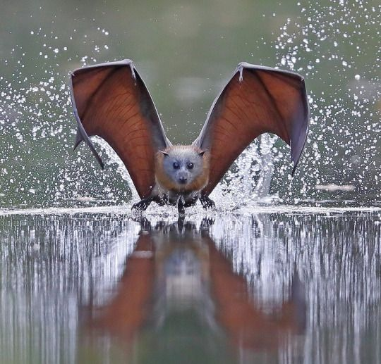 grey-headed flying bat  Flying Fox of Australia.  This is a spectacular photo!