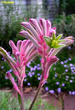 Anigozanthos 'Bush Pearl' [ Common Name: Kangaroo-Paw]; Family: Haemodoraceae where can these plants be found.