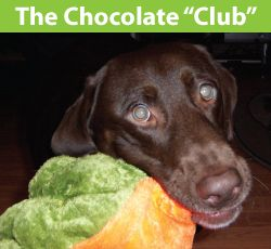 Chocolate Labrador Club