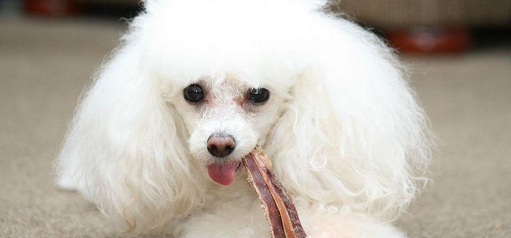 Podemos afirmar que mastigar objetos é um comportamento natural dos cachorros, os filhotes, por exemplo, mastigam as coisas para aliviar as dores.