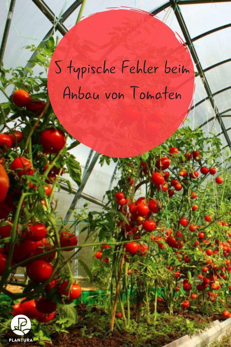 5 Typische Fehler Beim Anbau Von Tomaten Plantura Tomaten Garten Tomaten Pflanzen Tomaten Zuchten