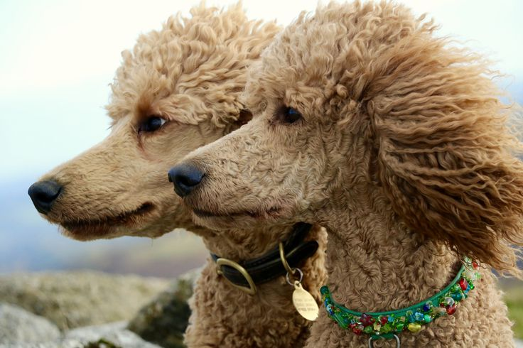 Red Standard Poodles, Dartmoor.   Itzapromise poodles