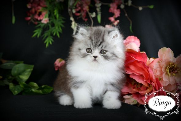 Black Smoke & White Teacup Persian Kitten www.dollfacepersiankittens.com