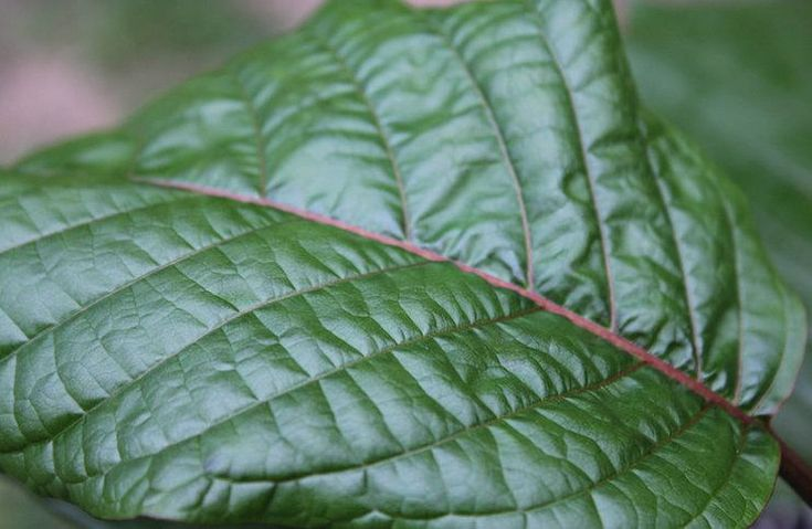 The Best Self-Help Guide to Growing Kratom (Mitragyna Speciosa)