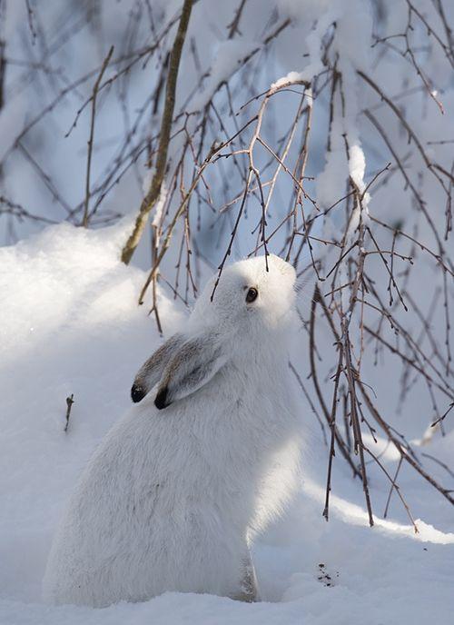 White Rabbit, winter scene, #snow