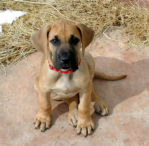 photos of great danes | Great Dane Information and Pictures - Petguide
