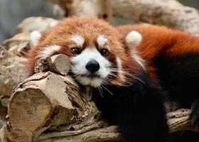 Panda roșu (Ailurus fulgens) este o rudă de dimensiunea unei pisici a ratonilor și a dihorilor. Deși se […]