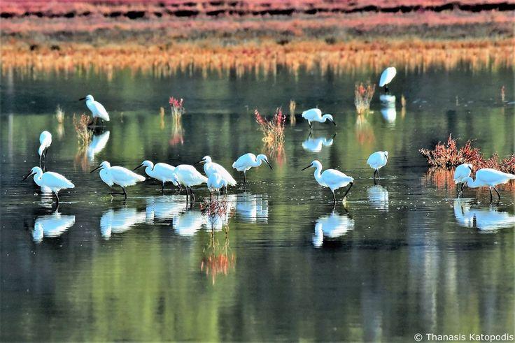 Καθρέφτισμα Αγριοτσικνιάδων στη λιμνοθάλασσα. 01/11/2017.