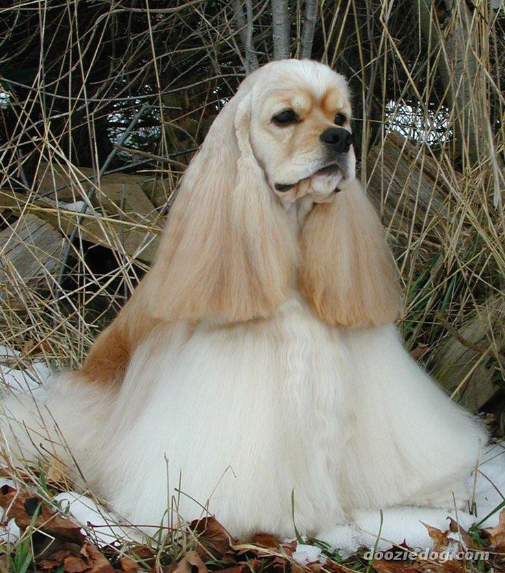 Girl Shih Poo Haircuts Teddy Bear