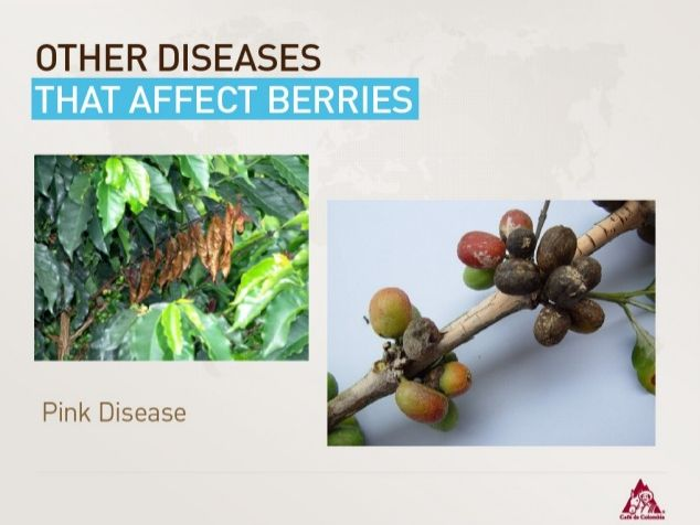 """Berry Diseases """"Prink Disease"""""""