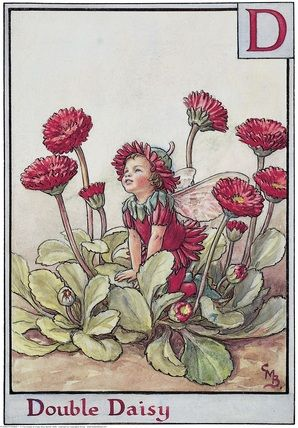 Illustration for the Double Daisy Fairy from Flower Fairies of the Alphabet.  A small boy fairy kneels amongst double English daisies looking upwards.	Author & Illustrator Cicely Mary Barker