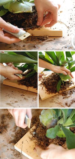 How To Mount a Staghorn Fern