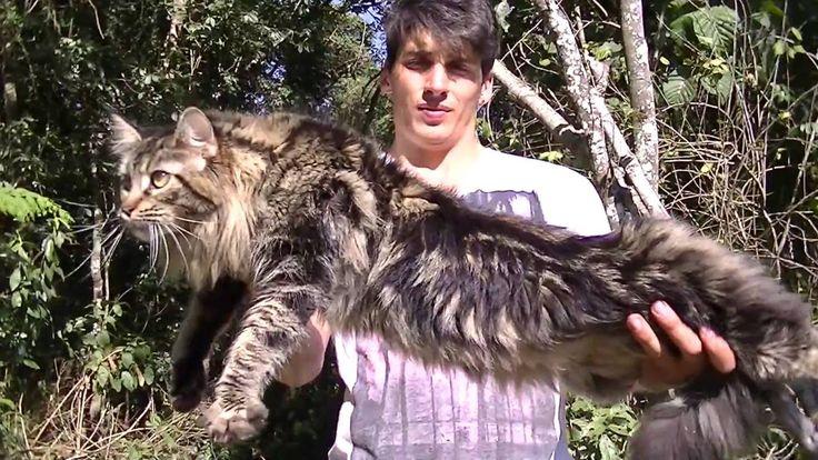 Criadores Maine Coon Ragdoll Bengal Exotico Munchkin Comprar Gato Petclube