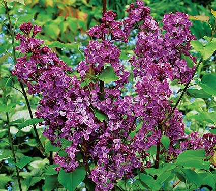 Lilacs are my favorite!