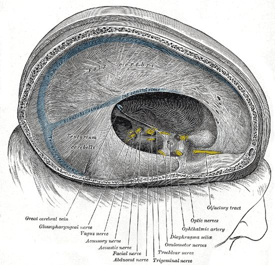 Gray567 - Glossopharyngeal nerve - Wikipedia, the free encyclopedia