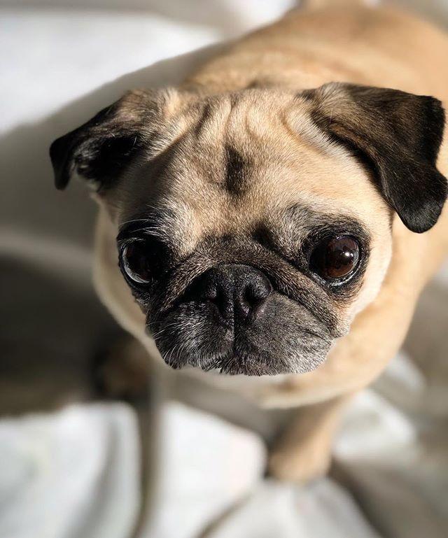 My Beautiful Vera Beth Who Says Seniors Can T Be Cute Pug