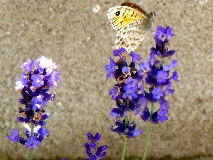 La mariposa en la lavanda de mi pequeno jardin...