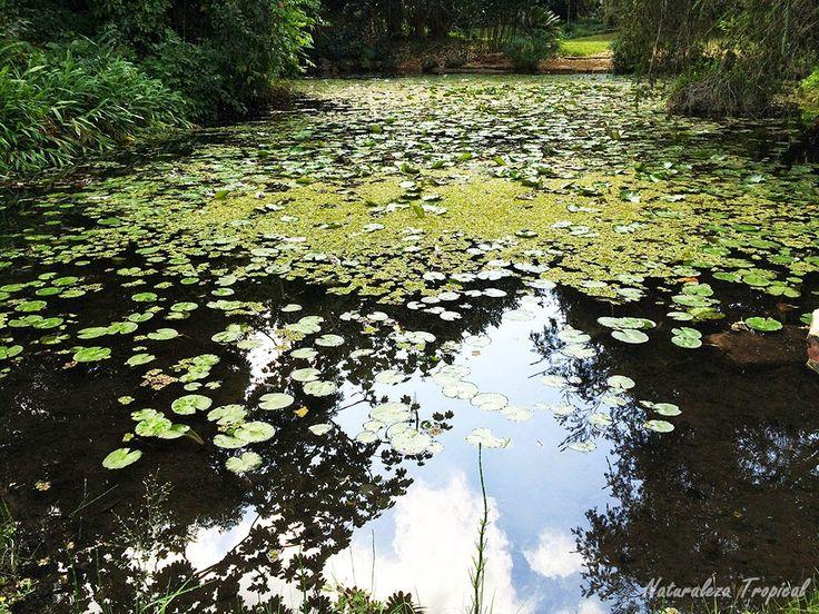 Lago donde se observan diferentes plantas acuáticas, Jardín Botánico Nacional de Cuba