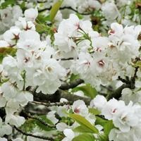 Prunus 'Shirotae',Japanese Flowering Cherry 'Shirotae', Cherry 'Shirotae', Prunus 'Erecta', Prunus serrulata 'Kojima', Prunus 'Mount Fuji', White flowers, Spring Flowers, Blossom Tree, Cherry blossom tree, Ornamental Cherry