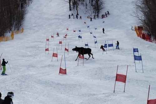 This moose going full YOLO on a ski slope: