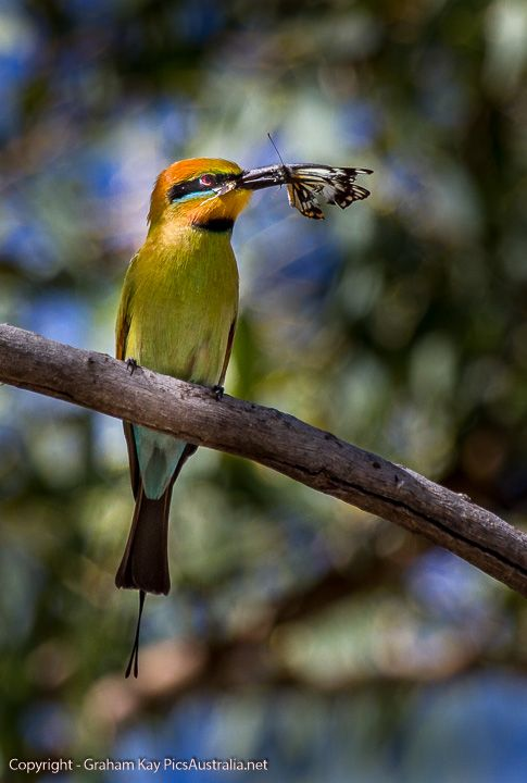 Lunchtime for a Raibow Bee Eater