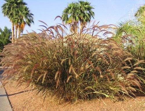 17 best images about ornamental grasses on pinterest for Brown ornamental grass plants