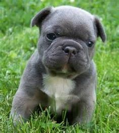 blue teacup french bulldog puppy at DuckDuckGo