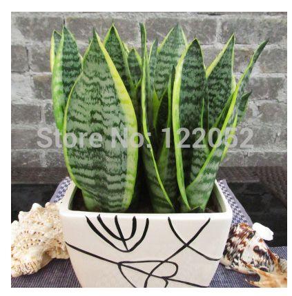 Комнатные растения, Пномпень Sansevieria семена, Sansevieria ] [ сосать формальдегида, Очистить воздух, 10 шт.