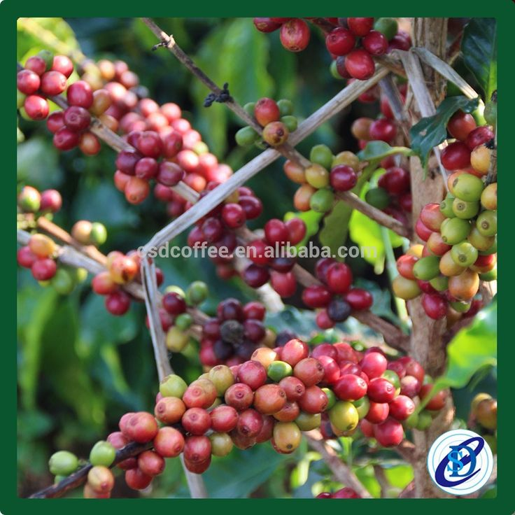 green bulk coffee beans