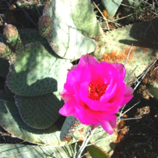Bloom on a Beaver Tail CactusArizona Wildflowers, Arizona Pl, Mothers Nature, Beaver Tail, Creator Create, Tail Cactus, Beautiful Things