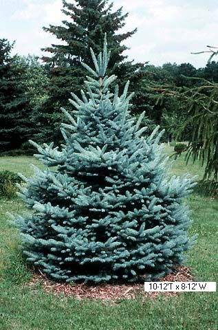 Albert Blue Spruce  Picea pungens glauca 'Fat Albert'  Medium growing. Height 12-15'. Width 8-10'. Zone 3.  Available Sizes: #5, #7, #10, 4-5'  Likes sun. Great tree for small yard. Strong leader formation. This  spruce has great form.