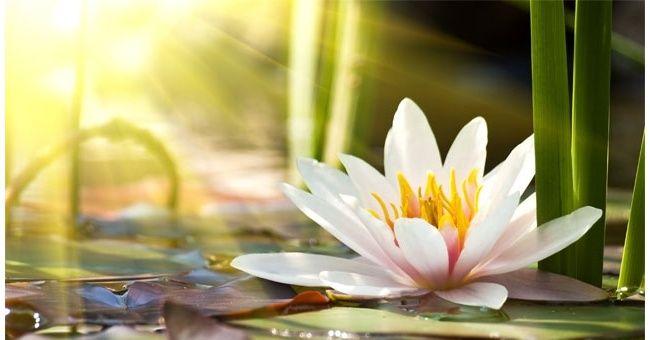Il significato del Fiore di Loto - Loriana Lizzio