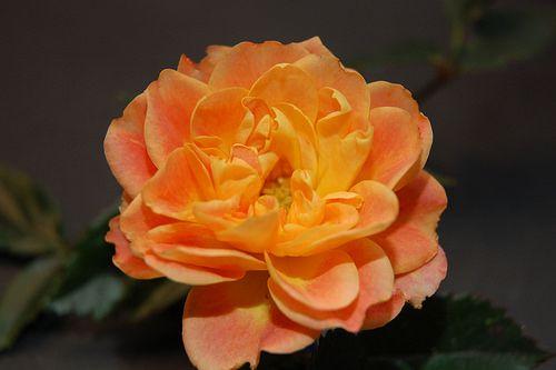 Love my garden rose