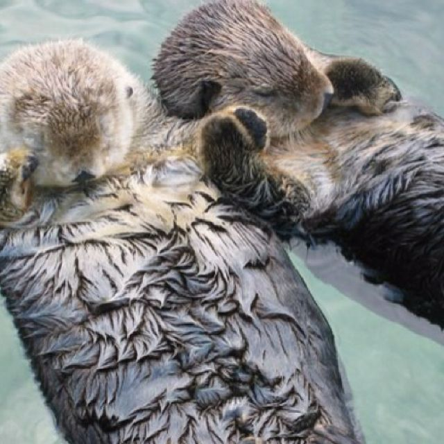 Sea otters hold hands when they sleep so they won't drift apart...why is this so cute