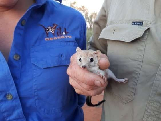The crest-tailed mulgara, believed extinct in New South Wales for over a century, has just been spotted minding its business in the area in which it was th