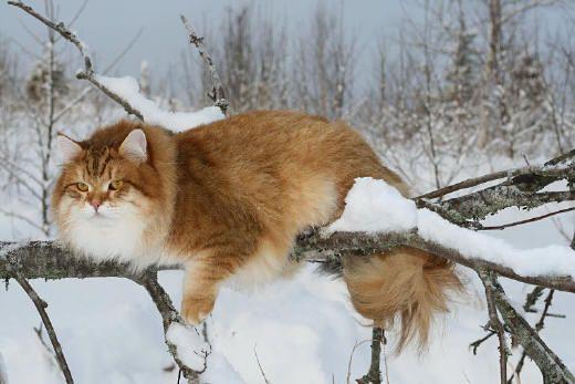 Big Russian Cat Breeds