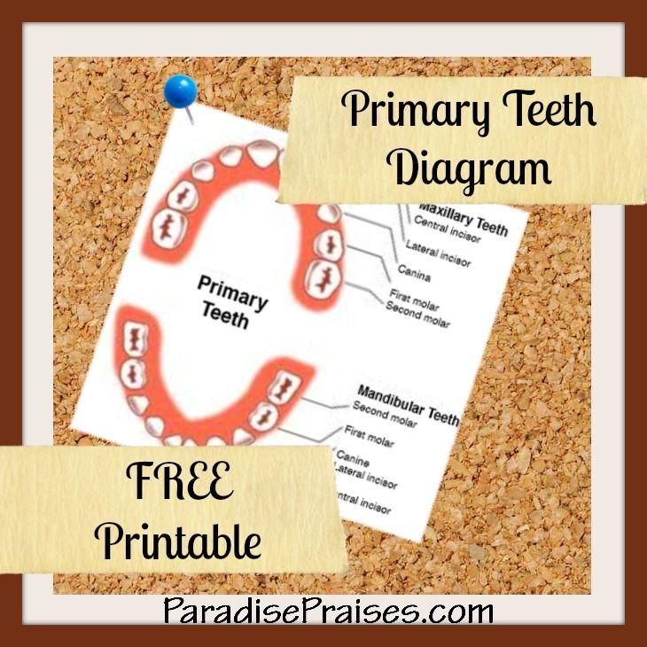 Primary Teeth Diagram, Free Printable, science printable, teeth worksheet, by ParadisePraises.com