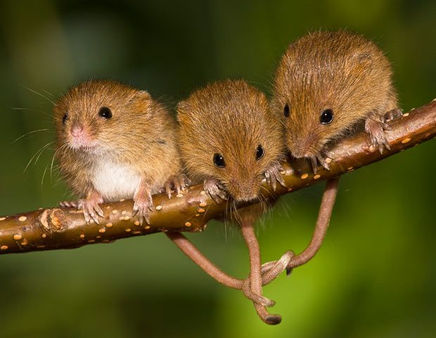 Three young harvest mice link tails while sitting on a branch...The secret life of the harvest mouse: cute pictures by Jean-Louis Klein and Marie-Luce Hubert