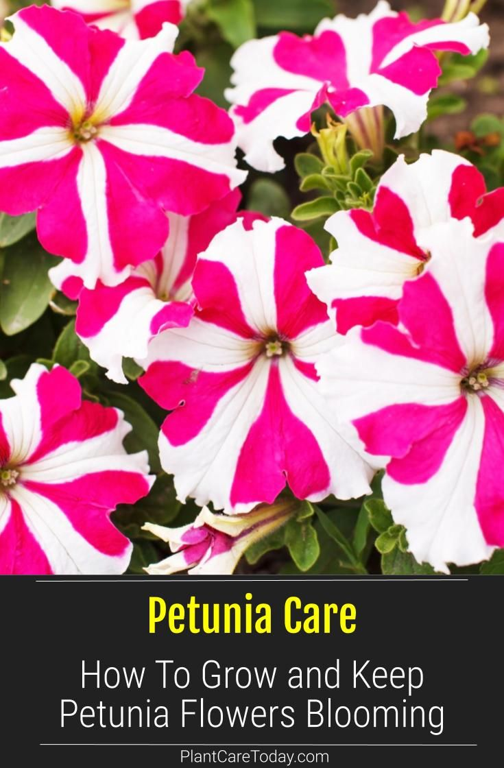 Petunia Care How To Grow And Keep Petunia Flowers Blooming In 2020 Petunia Plant Petunia Flower Petunia Care